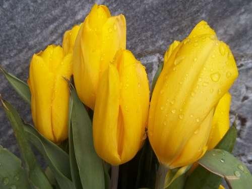 Tulips Yellow Flowers Spring Plant Bloom Garden