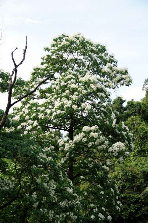Tung Trees And Flowers Flowering White Flower