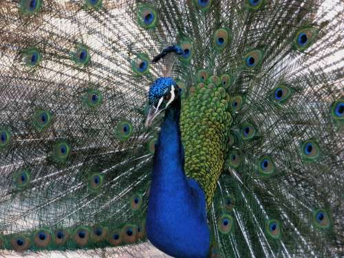 Turkey Royal Birds Beautiful
