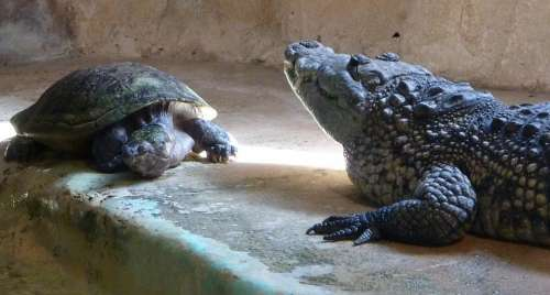 Turtle Crocodile Animals