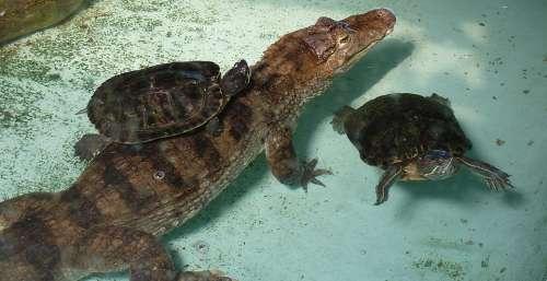 Turtle Crocodile Picture
