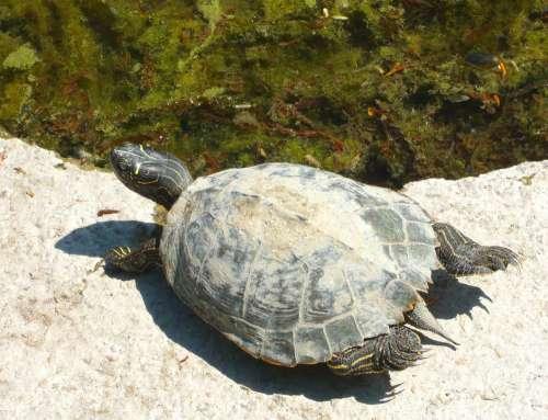 Turtle Water Turtle Turtles Animal