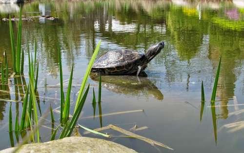 Turtle Animal Water Animal Amphibian Pond Biotope