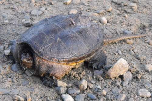 Turtle Common Snapping Turtle Ontario Nature