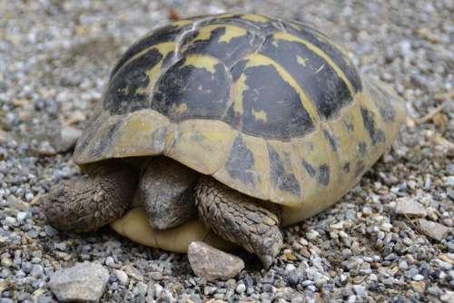 Turtle Wild Panzer Crawl