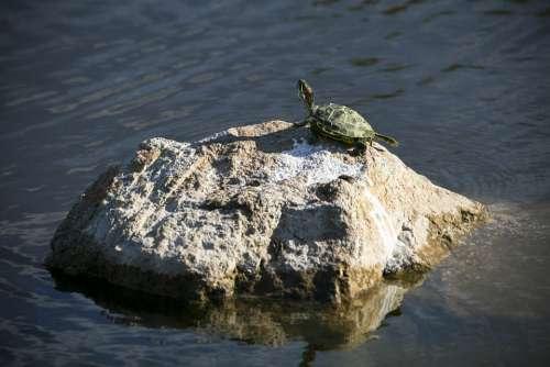 Turtle Water Nature Wildlife Marine Swimming