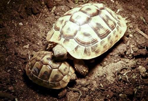 Turtle Panzer Horn Animal Reptile Snuggle Hard