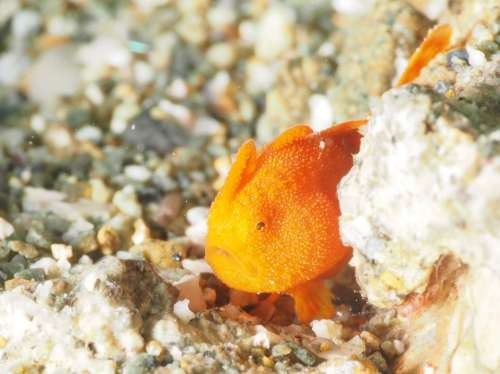 Underwater Frogfish