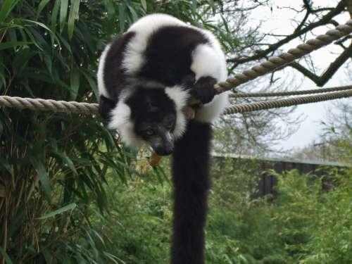 Vari Lemur Prosimian Zoo Nature Black And White