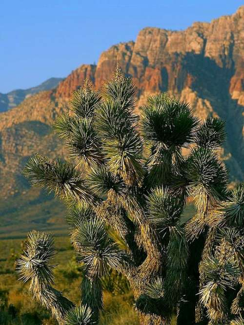 Vegas Near Park Cactus Flowers Plants Flora