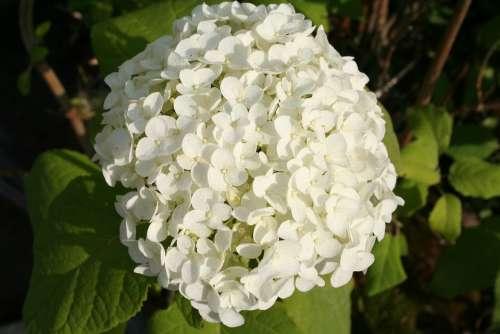 Viburnum Bush Garden Plant Hardy