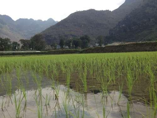 Vietnam Rice Field Mai Chau Agriculture