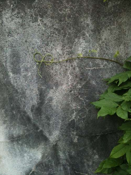 Vine Curl Grey Wall Tendril Isolated Lonely