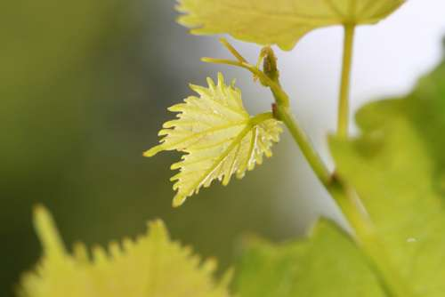 Vine Wine Leaf Wine Autumn Leaf Decoration Leaves