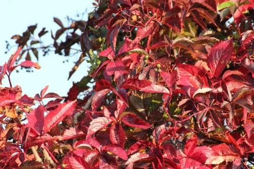 Vine Wine Partner Vine Leaves Autumn Mood