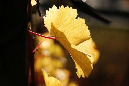 Vine Leaf Autumn Yellow Golden Autumn Wine