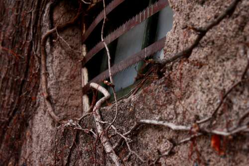 Vine Plant Window Old Adobe Wall Poverty