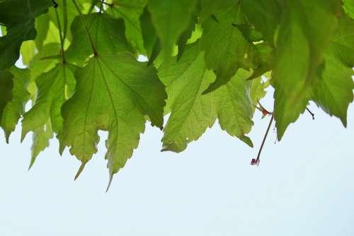 Vine Leaves Leaves Climber Plant Green Plant Flora