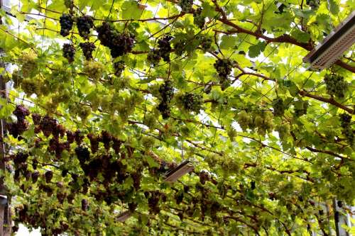 Vines Germany Green Vine Rebstock Wine Grapevine