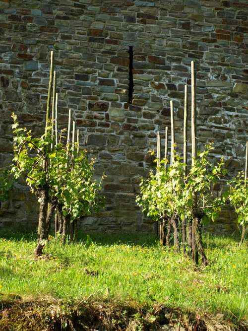 Vines Wine Vines Stock Winegrowing City Blankenberg