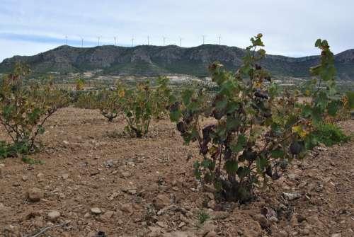 Vineyard Autumn Jumilla Winter Leaves Vine Yellow