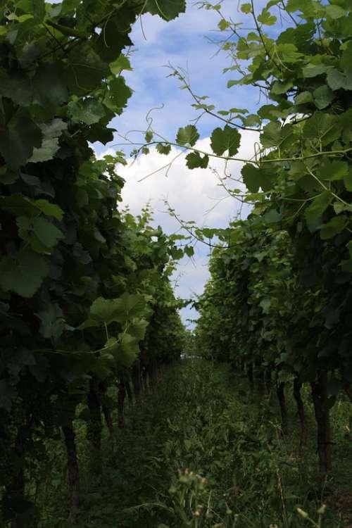 Vineyard Wine Vines Pieces Of Vine Grapes Fruit