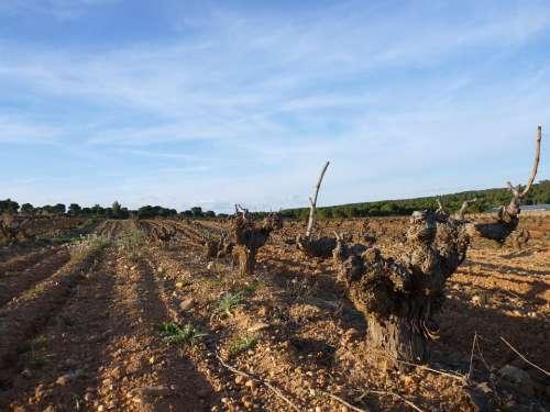 Vineyard Cuenca Wine Grape Agriculture Spain Wine