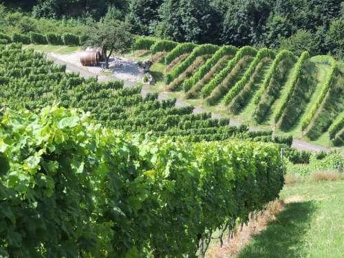 Vineyard Wine Vines