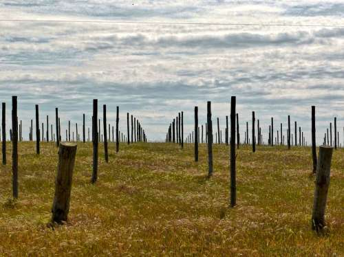 Vineyard Field Sticks Agriculture Winery Landscape