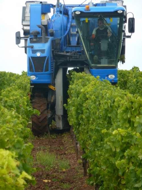 Vintage Wine Harvest Wine Grapes Harvester Vines