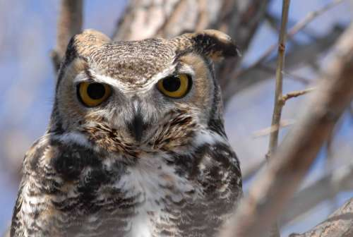 Virginianus Bubo Bird Head Close-Up Horned Great