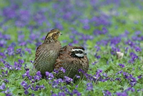 Virginianus Colinus Bobwhite Northern Quail Birds