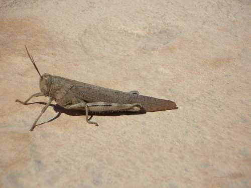 Viridissima Heupferdchen Insect Grasshopper