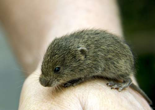 Vole Rodents Hamster Animals Hand