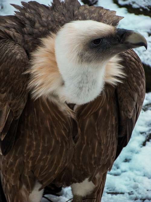 Vulture Griffon Vulture Bird Of Prey Zoo Bird Beak
