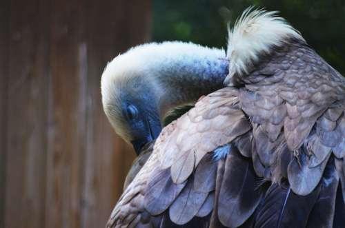 Vulture Animal Clean Bird