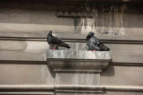 Wall Projection Pigeons Resting Place Birds