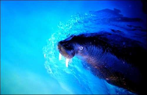 Walrus Sea Lion Sea Meeresbewohner Underwater