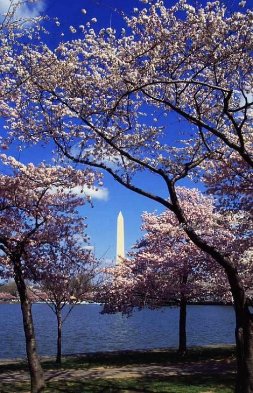 Washington Dc Japanese Cherry Trees Blooms Blooming