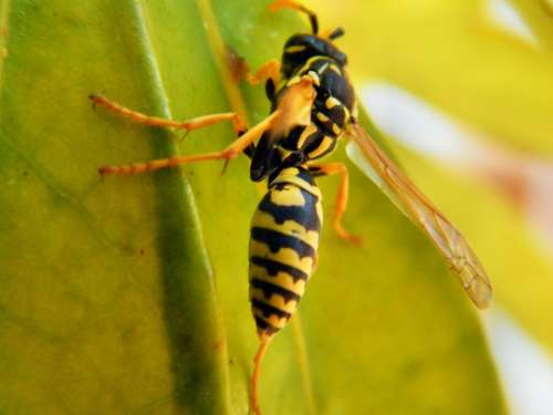 Wasp Animal Insect Nature Macro Leaf Hornet