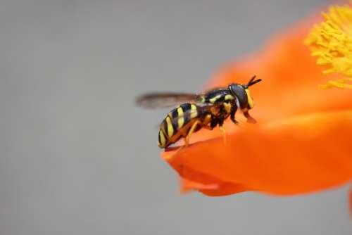 Wasp Poppy Insect Pollination Animal