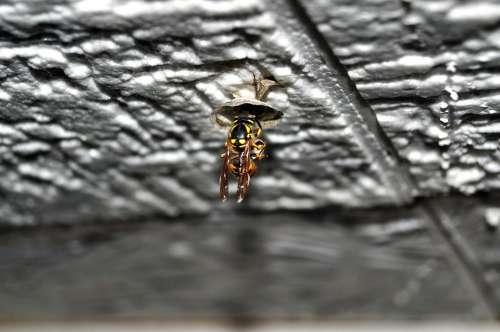 Wasp Queen Queen Wasp Nest Building Nature