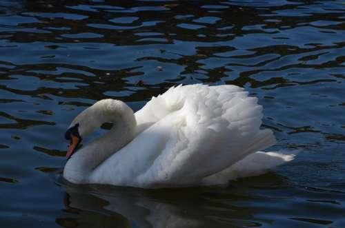 Water Swan Water Bird Swimming Bird Close-Up