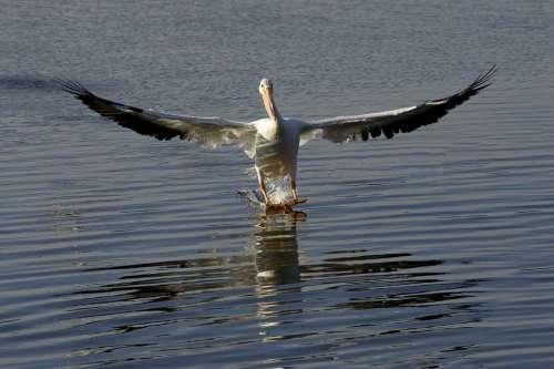 Water Skiing Pelican Birds Animals Fauna