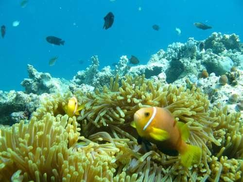 Water Ocean Fish Clown Maldives Anemone Reef