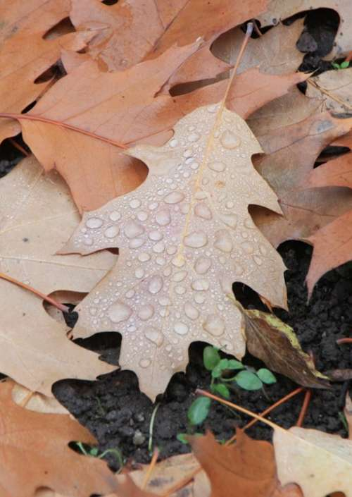 Water Droplets Leaf Fallen Autumn Leaves