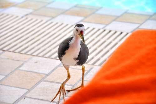 Water Birds Maldives Full Moon Island Poolside