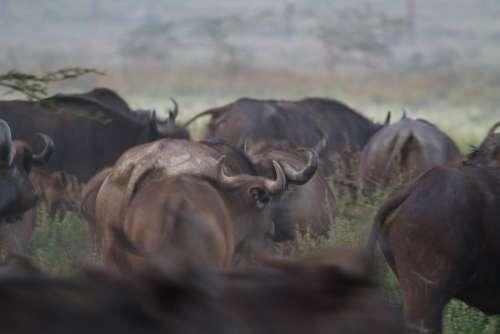 Water Buffalo Buffalo National Park Africa