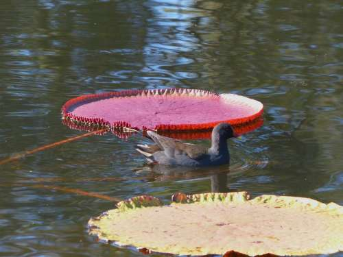 Water Hen Water Fowl Water Lily Aquatic Plants