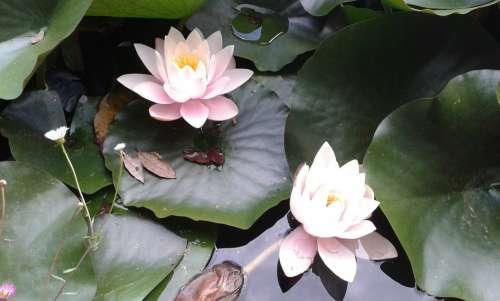 Water Lilies Flower Petals Leaves Pond